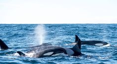 A group of orcas in the Andfjord close to Andenes.
