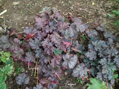 MY GARDEN: heuchera no 3 (My Favourite!)