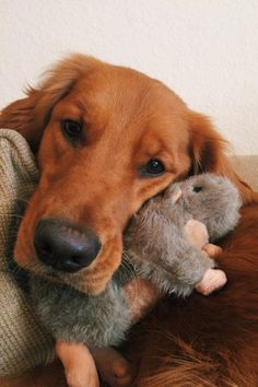 In love with his new squirrel <3 #paceythegolden