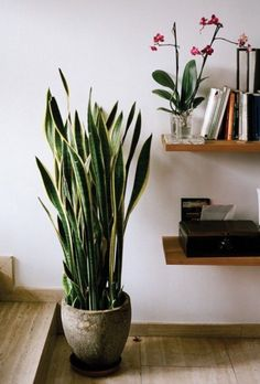 Snake plant (Sansevieria trifasciata 'Laurentii') also known as mother-in-law's tongue, this plant is one of the best for filtering out formaldehyde which is common in cleaning products, toilet paper, tissues and personal care products.