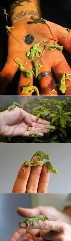 Newborn chameleons... #CutestBabyAnimals