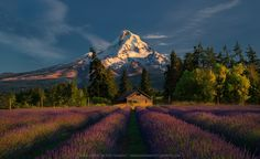"I shot this image in Oregon, this past 4th of July weekend. I found this spot by accident while diving around looking for some foreground element to frame it with Mt. Hood. So, when I saw these colorful fields of Lavenders leading into the mountain, that was it! Check more of my work:  <a href=""http://www.eveningphotography.com"">My Website</a> 