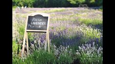About 9 weeks until bloom! Growing Lavender, The Allure, Opening Day, Harvest, Mothers, Bloom, Grand Opening, Openness, Mom
