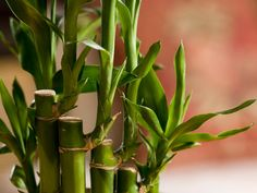 How to Grow Bamboo as a Houseplant | Here are the varieties to grow and the details to know. Courtesy of Purestock / Getty Images.
