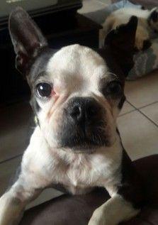 JessieBTR Jessie, Boston Terrier, Adoption, Africa, Pets, Shop, Animals, Foster Care Adoption, Boston Terriers
