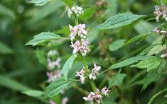 Valeriana, buruiana antistres   Paradis Verde Salvia, Paradis, Cottages, Diet, Plant, Cabins, Country Homes, Sage, Cottage