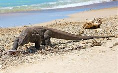 The Komodo dragon is the largest living lizard on Earth and its home range in the Indonesian archipelago included the islands of Flores, Rinca, and Komodo.