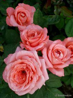 "Rose "" Institut Lumière ® "" , (MASinlum) , bred by Dominique Massad (France, 2003)"
