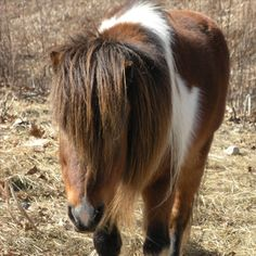 The Shetland pony's maximum height is 42 inches at the shoulders.