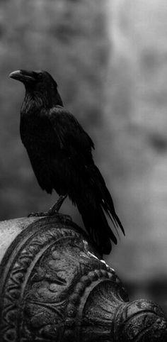 {Raven} #Raven #Crow #art #photography