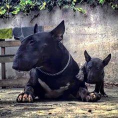 get BULL Terrier free stickers Bull Terrier Negro, Black Bull Terrier, Chien Bull Terrier, Mini Bull Terriers, Miniature Bull Terrier, English Bull Terriers, Beautiful Dogs, Animals Beautiful, Cute Animals