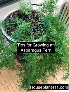 Learn how to grow and care for a hanging Asparagus Fern plant at - Healthy Eating Tips Tropical Landscaping, Landscaping Plants, Garden Plants, Indoor Plants, Potted Plants, Asparagus Fern Care, Asparagus Plant, Container Gardening Vegetables, Succulents In Containers