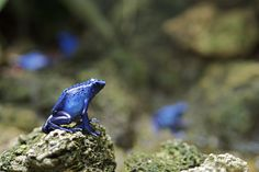 Blue animals: Frog There's something about blue frogs that just mesmerizes me :)