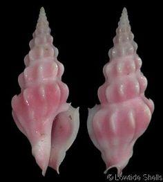 Drillia roseola (Hertlein, L.G. & A.M. Strong, 1955) Manzanillo, Pacific Mexico - Ecuador