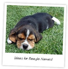 ideas for beagle names