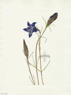 "Antique prints of ""Pinebarren Gentian"" from Walcott North American Wild Flowers 1925"