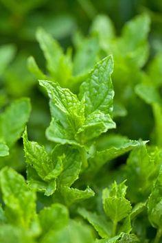 Minze-Pflanzen - Anbau & Pflege der Pfefferminze