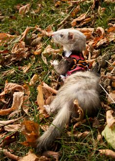 A Ferret enjoying Autumn - of course s/he needs a woolly sweater.