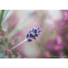 Lavender printable photo, fine art photography, digital download art,... (£4.80) ❤ liked on Polyvore featuring home, home decor and wall art