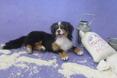 OOAK Realistic Miniature Dog ~ Bernese Mountain Dog  1:12 Dollhouse Handmade pet