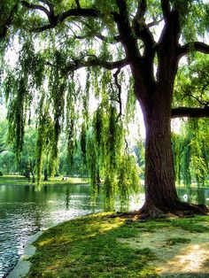 Weeping willow, grew up with one in my backyard, so sentimental. The people who bought the house cut it down, too high maintenance for them:o( Sorry. So. Stupid!