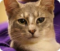 Little Rock, AR - Domestic Mediumhair. Meet Romeo (28206) a Cat for Adoption.