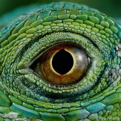 """""""Green iguana by NPL / Alamy. Green iguanas' bodies are covered in soft, leathery scales. Female lizards are a brighter green than males. The spines on…"""""""
