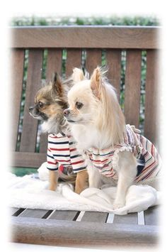 Lovely chi's #chihuahua