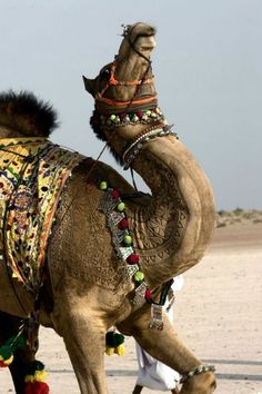 Bikaner Camel Festival, a two-day festival in Rajasthan, India, which includes shaving elaborate patterns into Camel's fur.