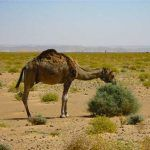 What Do Camels Eat Camels, Eat, Book, Animals, Animales, Animaux, Animal, Animais, Book Illustrations
