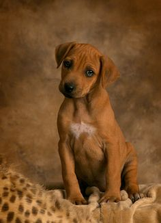 This is the dog we want when we buy a house! I used to have one when I was very little. They are used to hunt lions.. Can't be cooler than that!! Rhodesian Ridgeback! ❤️