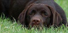 El celo en los perros, síntomas que presentan las hembras