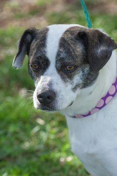 Mutt dog for Adoption in Johnson City, TN, USA. ADN-795713 on PuppyFinder.com Gender: Female. Age: Adult. Nickname: Petunia/Gracie