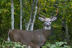 Alert whitetail buck