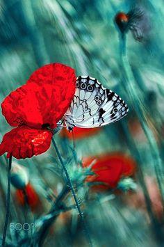 Mohnblume und Schmetterling, Impression eines Herzflatterns