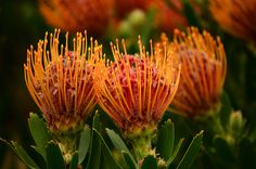 Kirstenbosch National Botanical Garden, Cape Town | South Africa National Botanical Gardens, Cape Town South Africa, Trees To Plant, Waterfalls, Southern, Heart, Places, Flowers, Pretty Flowers