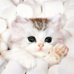 Marshmallow Fluff Kitten