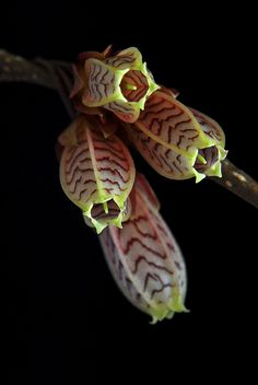 Agapetes [Family: Ericaeae] - Flickr - Photo Sharing!