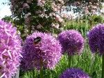 May is my favourite month for flowers - clematis and allium everywhere!
