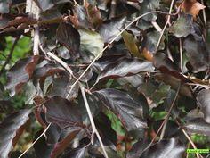 Fagus sylvatica 'Purpurea'