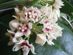 Hoya Calycina Stargarzer