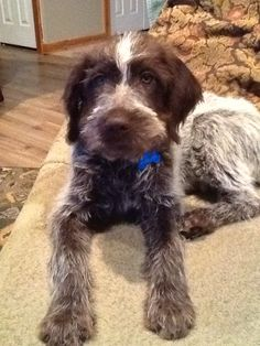 Wirehaired pointing griffon puppy
