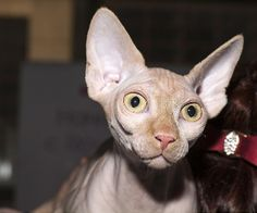 Gatos feos Sphynx Cat, Amy, Naked, Kitty, Animals, Ugly Animals, Funny Animal Humor, Funny, Cuddle Cat