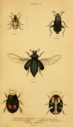 The natural history of beetles : - Biodiversity Heritage Library