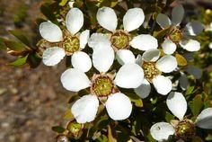 Leptospermum sp. - Flickr - Photo Sharing!