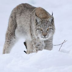 Canadian Lynx Arctic Animals, Nature Animals, Animals And Pets, Cute Animals, Cat Bobcat, Lynx Kitten, Beautiful Cats, Animals Beautiful, Big Cats