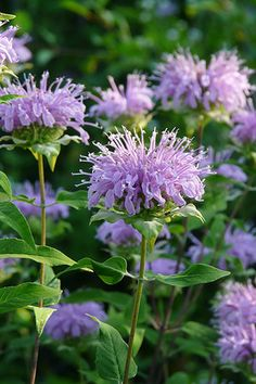 Bergamot (Monarda fistulosa) The intricate lavender flowers of Bergamot attract a plethora of butterflies, and the strong stems are sometimes used by Indigo Buntings to build their nests. The fresh leaves can be used to brew a tasty, minty tea, and the seedheads are excellent in dried arrangements.