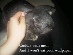 Ollie the French Lob Rabbit is loving his cuddles... Sweet animal!
