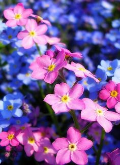 """""""Forget-me-not"""" In 15th-century Germany, it was supposed that the wearers of the flower would not be forgotten by their lovers. Legend has it that in medieval times, a knight and his lady were walking along the side of a river. He picked a posy of flowers, but because of the weight of his armour he fell into the river. As he was drowning he threw the posy to his loved one and shouted """"forget me not"""". It was often worn by ladies as a sign of faithfulness and enduring love."""