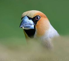 Close-up portrait of a Hawfinch (Dutch: appelvink) by Gert-Jan IJzerman.